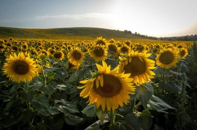 عباد الشمس.. زهرة تكابد خطر الاندثار في باجة