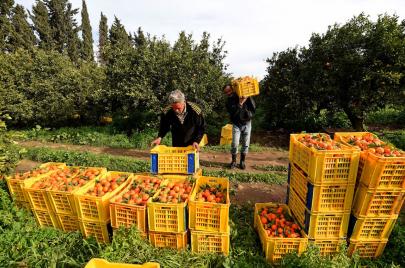 إنتاج البرتقال في تونس.. نقمة السوق والأسعار